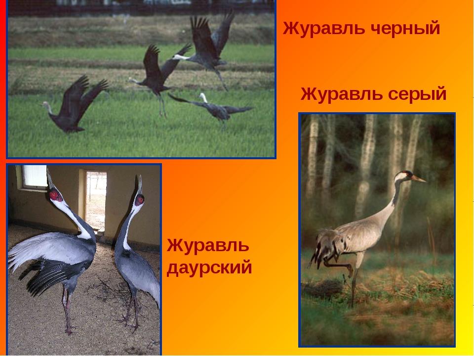 Журавль черный Журавль серый Журавль даурский