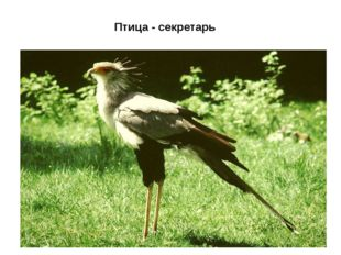 Птица - секретарь