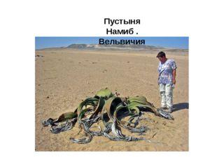 Пустыня Намиб . Вельвичия