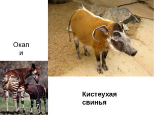 Окапи Кистеухая свинья