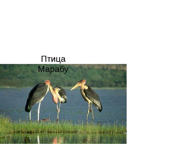 Птица Марабу
