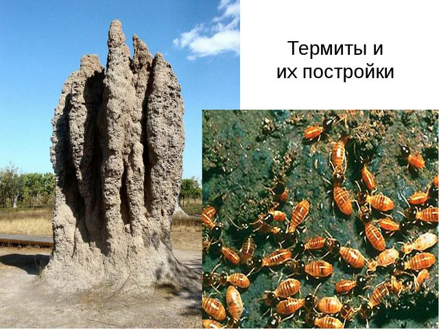 Термиты и их постройки