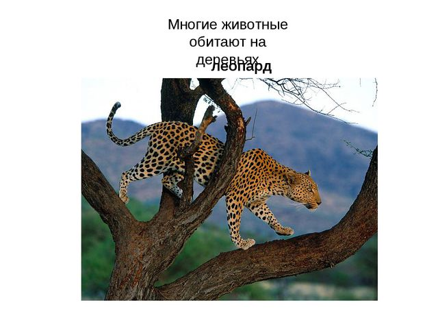 Многие животные обитают на деревьях леопард