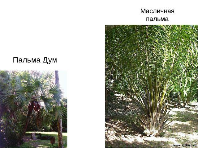 Пальма Дум Масличная пальма