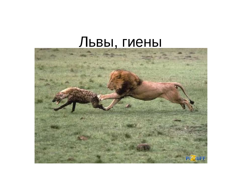 Львы, гиены