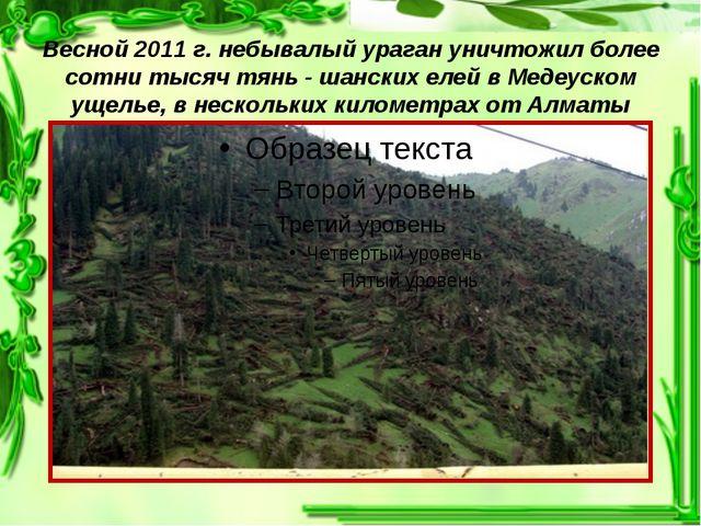 Весной 2011 г. небывалый ураган уничтожил более сотни тысяч тянь - шанских е...