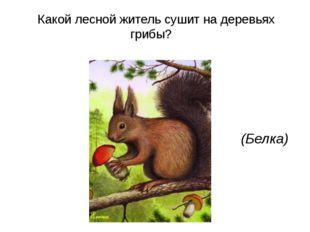 Какой лесной житель сушит на деревьях грибы?  (Белка)