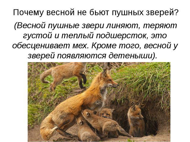 Почему весной не бьют пушных зверей? (Весной пушные звери линяют, теряют гу...