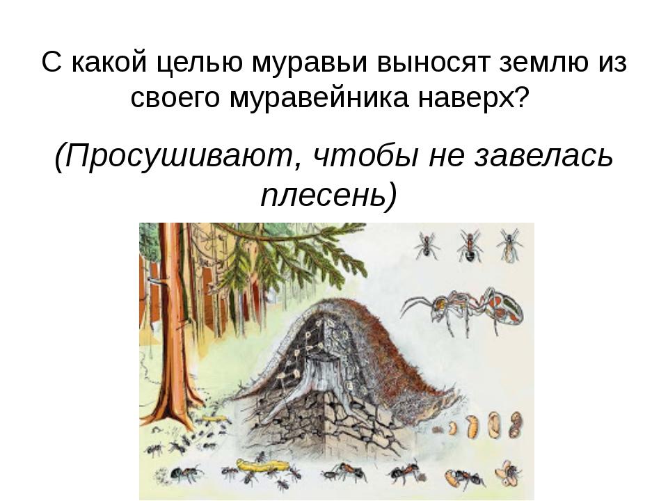 С какой целью муравьи выносят землю из своего муравейника наверх? (Просушиваю...