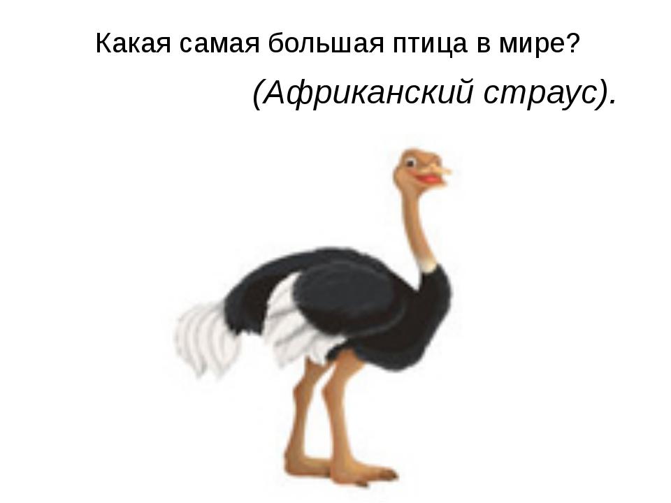 Какая самая большая птица в мире?  (Африканский страус).