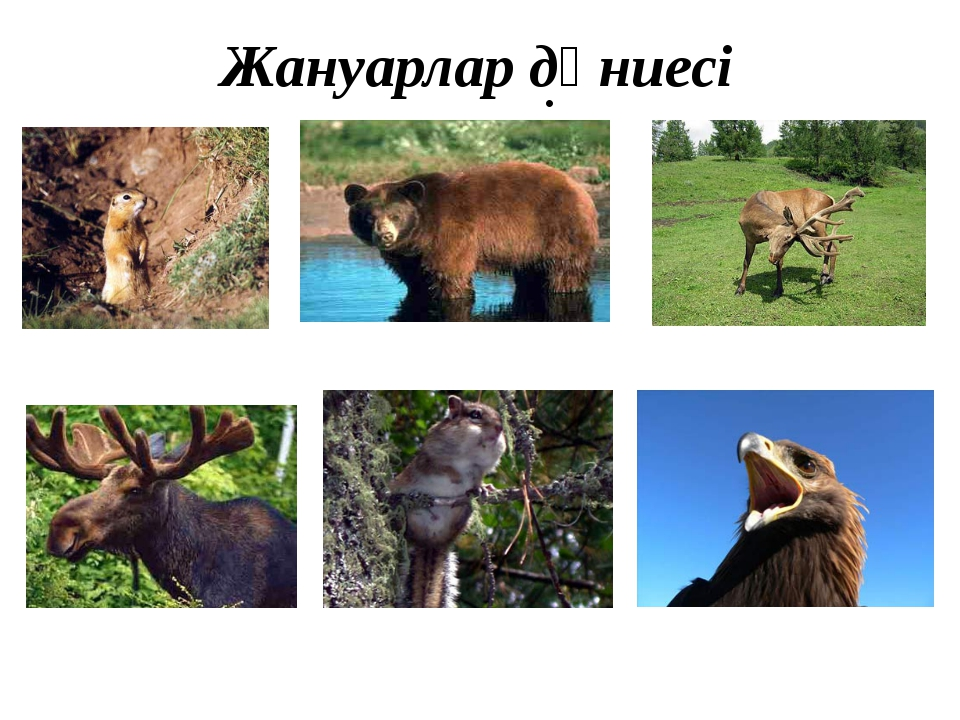 Жануарлар дүниесі Многообразием животного мира Алтайский край обязан наличию...