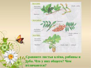Сравните листья клёна, рябины и дуба. Что у них общего? Чем отличаются?