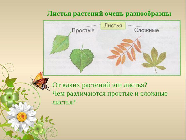 Листья растений очень разнообразны От каких растений эти листья? Чем различаю...