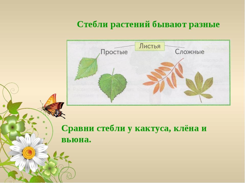 Сравни стебли у кактуса, клёна и вьюна. Стебли растений бывают разные