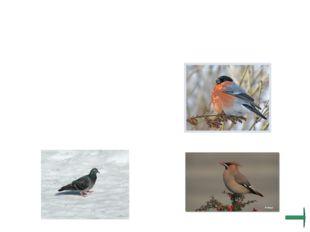 Узнай и назови птиц, питающихся преимущественно плодами и семенами.