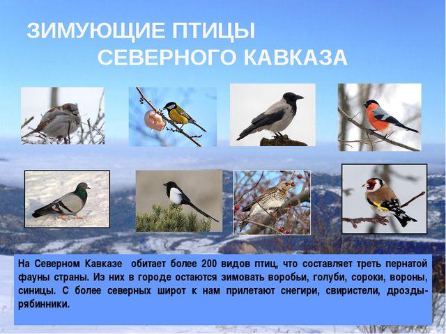 ЗИМУЮЩИЕ ПТИЦЫ СЕВЕРНОГО КАВКАЗА На Северном Кавказе обитает более 200 видов...