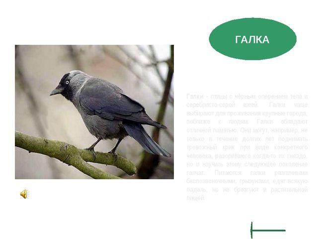 Галки - птицы с чёрным оперением тела и серебристо-серой шеей. Галки чаще вы...