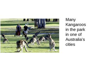 Many Kangaroos in the park in one of Australia's cities