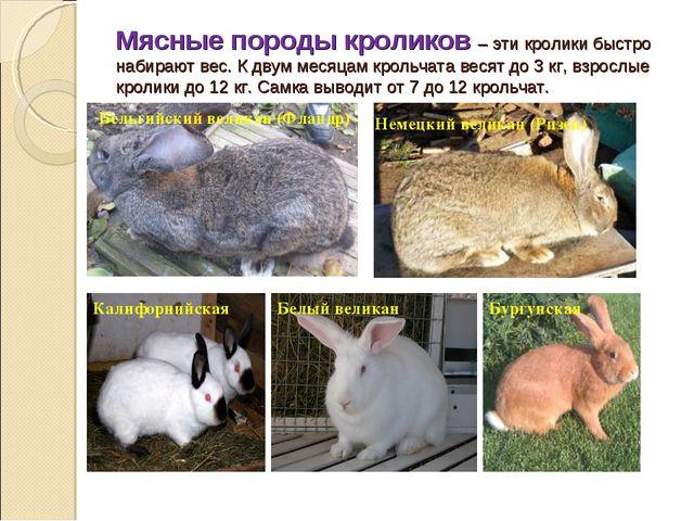 Мясные породы кроликов – эти кролики быстро набирают вес. К двум месяцам крол...