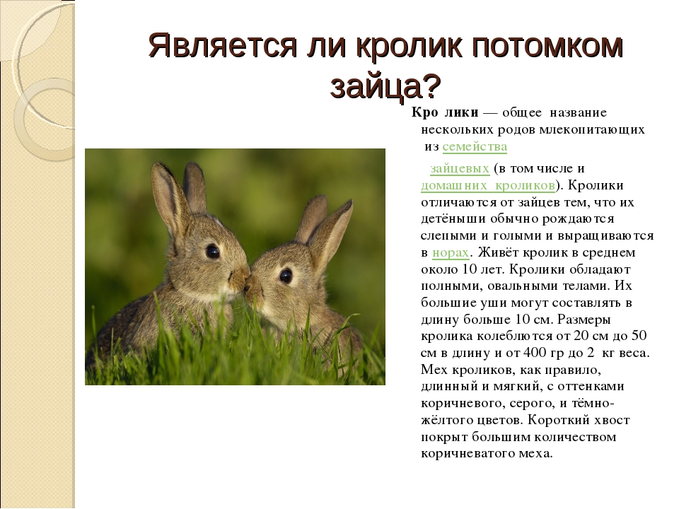 Является ли кролик потомком зайца? Кро́лики— общее название нескольких родов...