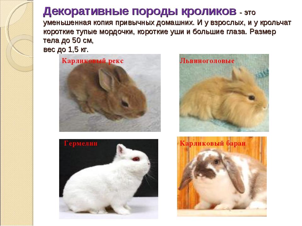 Декоративные породы кроликов -это уменьшенная копия привычных домашних. И у...