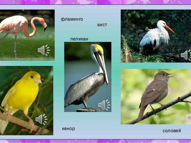 фламинго аист пеликан кенор соловей