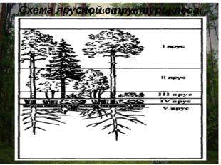 Схема ярусной структуры леса.