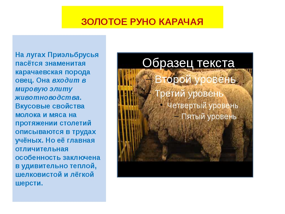 ЗОЛОТОЕ РУНО КАРАЧАЯ На лугах Приэльбрусья пасётся знаменитая карачаевская по...