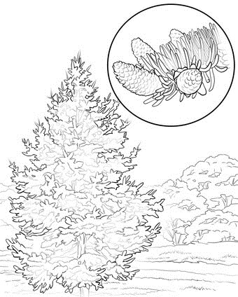 C:\Users\Настя\Desktop\colorado-state-tree-coloring-page.jpg