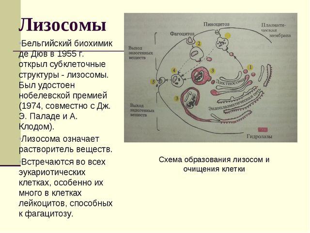 Лизосомы Бельгийский биохимик де Дюв в 1955 г. открыл субклеточные структуры...