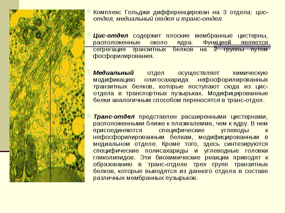 Комплекс Гольджи дифференцирован на 3 отдела: цис-отдел, медиальный отдел и т...