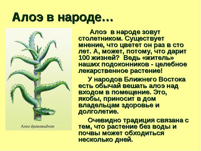 Алоэ в народе… Алоэ в народе зовут столетником. Существует мнение, что цветет...