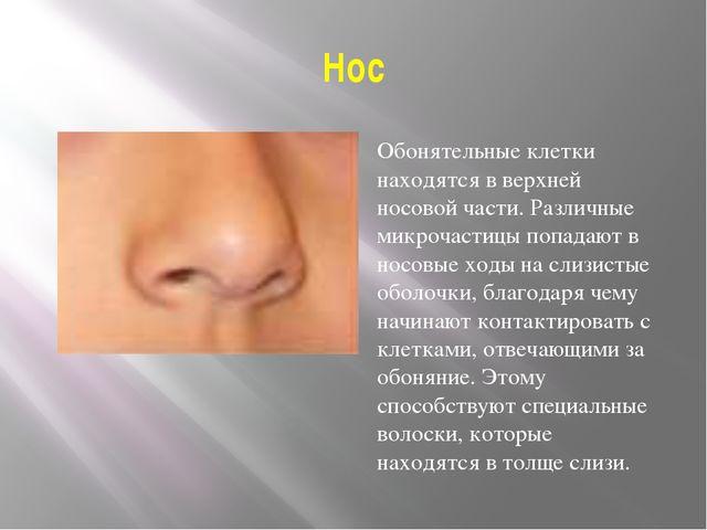 Нос Обонятельные клетки находятся в верхней носовой части. Различные микрочас...