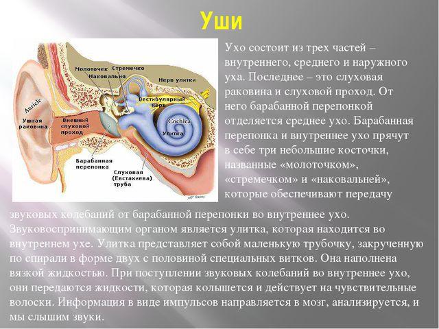 Уши Ухо состоит из трех частей – внутреннего, среднего и наружного уха. После...