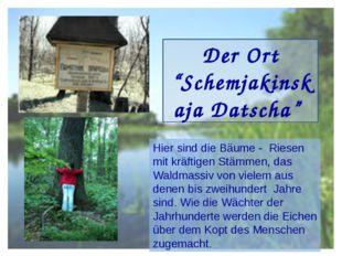 """Der Ort """"Schemjakinskaja Datscha"""" Hier sind die Bäume - Riesen mit kräftigen"""