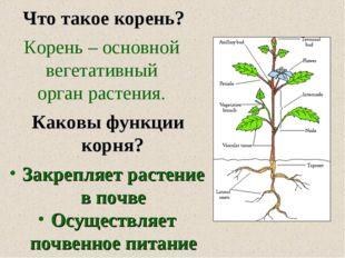 Что такое корень? Корень – основной вегетативный орган растения. Каковы функ