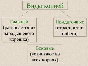 Виды корней Придаточные (отрастают от побега) Главный (развивается из зародыш