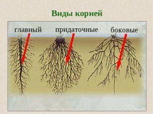Виды корней главный придаточные боковые