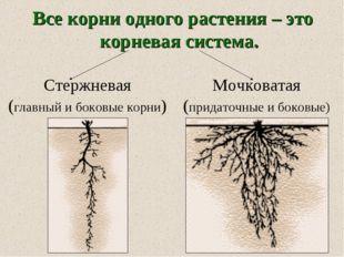 Все корни одного растения – это корневая система. Стержневая (главный и боков