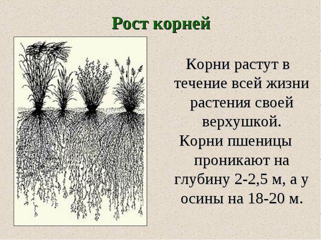 Корни растут в течение всей жизни растения своей верхушкой. Корни пшеницы пр...