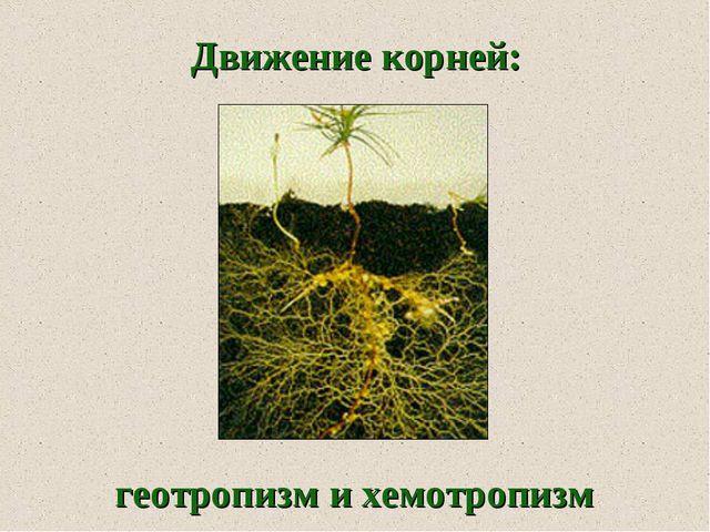 геотропизм и хемотропизм Движение корней: