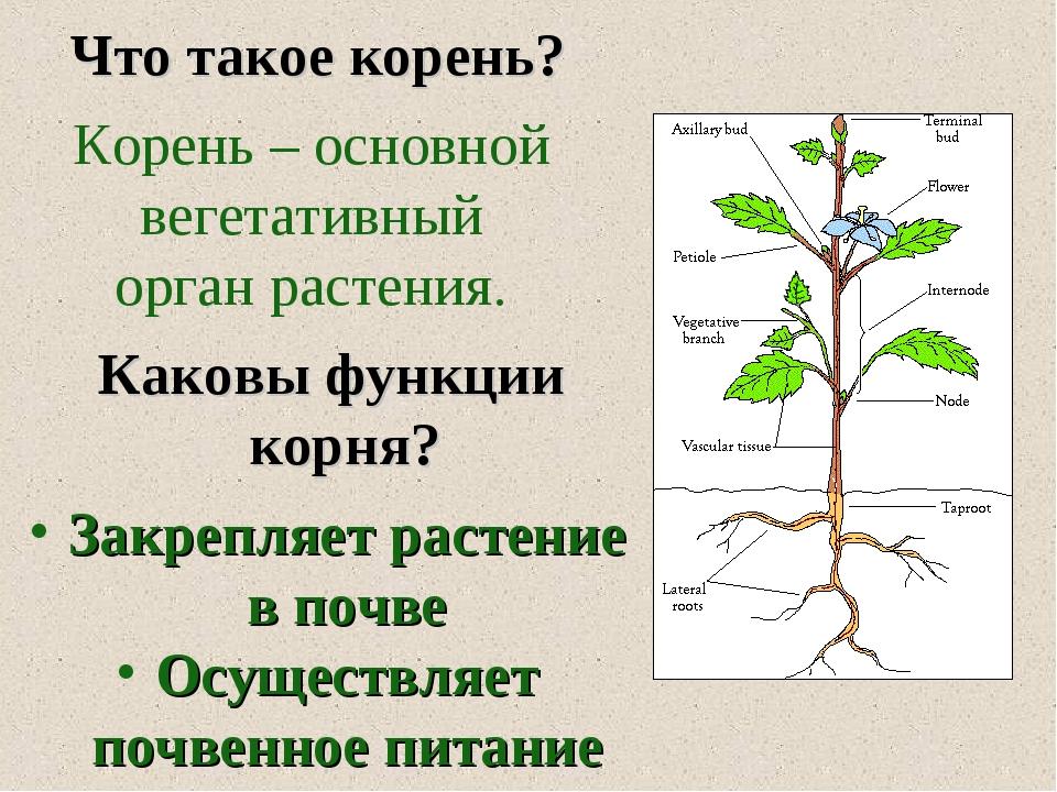 Что такое корень? Корень – основной вегетативный орган растения. Каковы функ...
