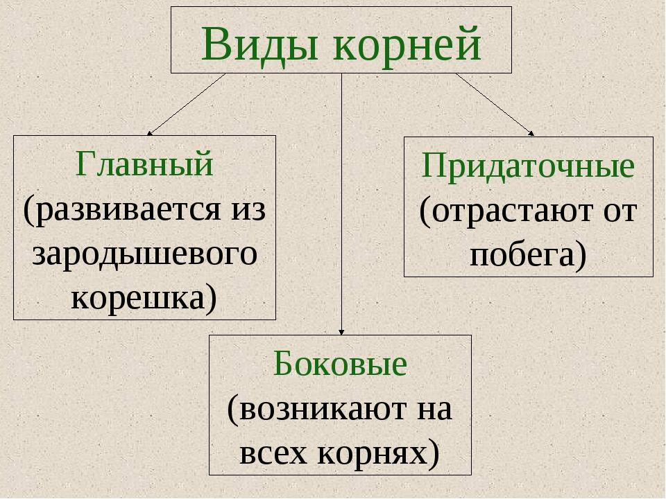 Виды корней Придаточные (отрастают от побега) Главный (развивается из зародыш...