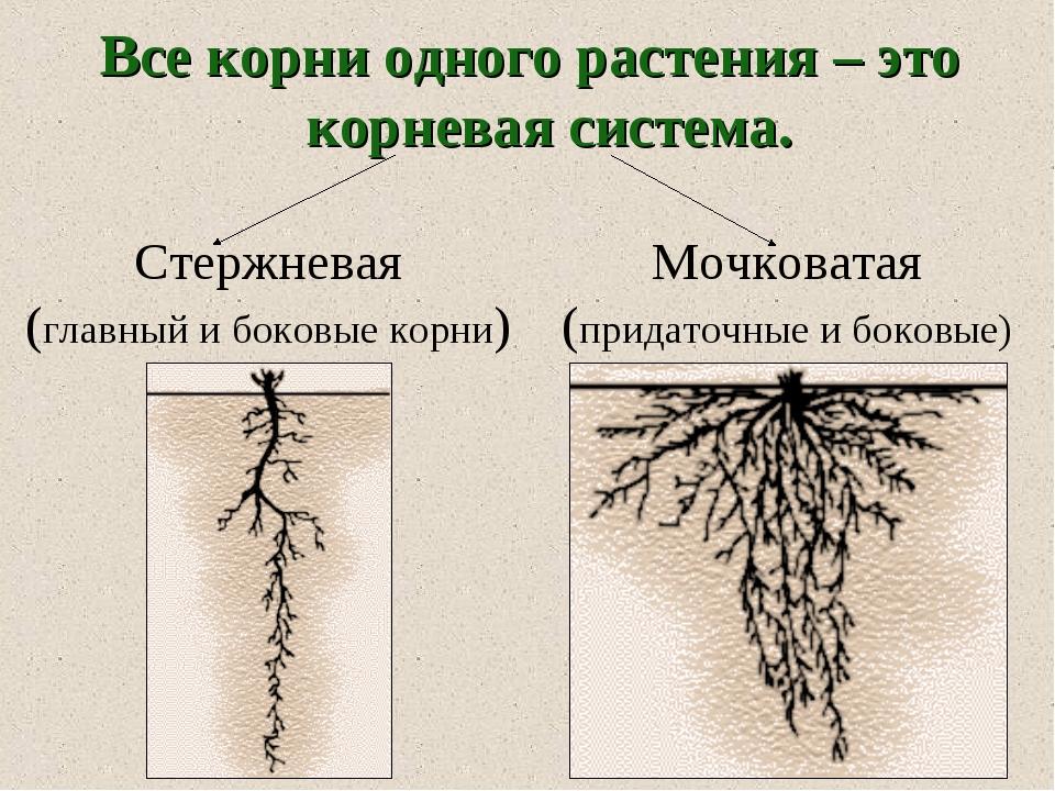 Все корни одного растения – это корневая система. Стержневая (главный и боков...