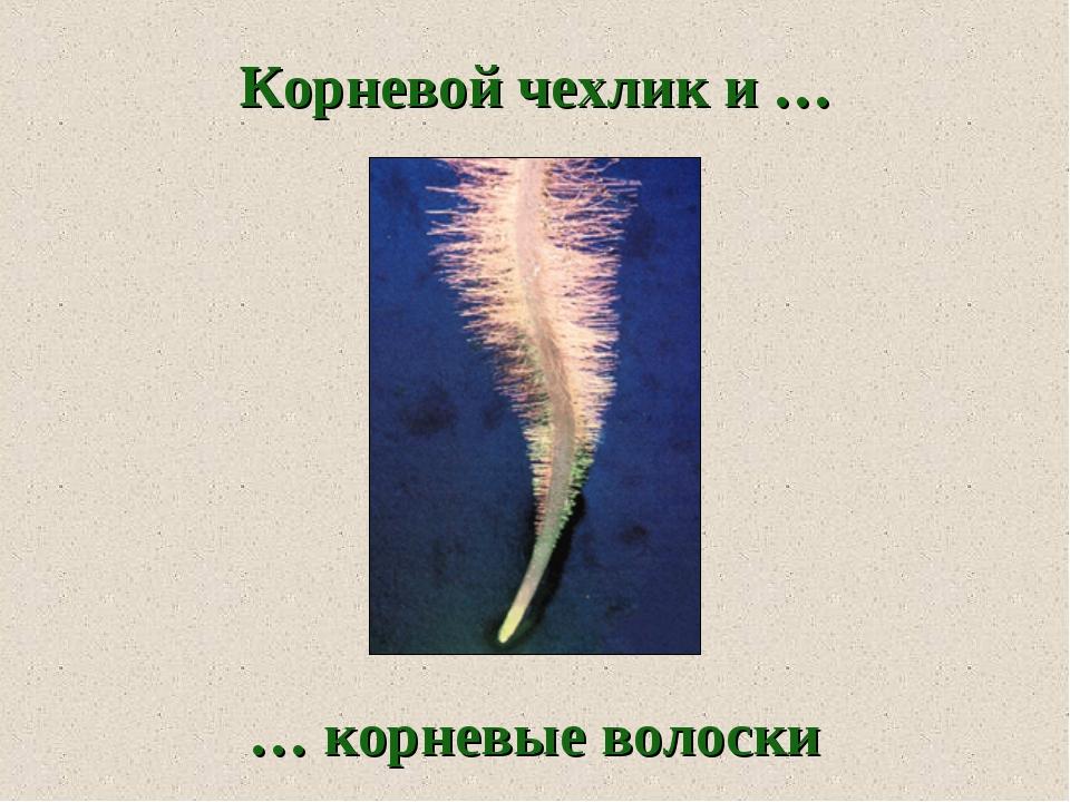 … корневые волоски Корневой чехлик и …