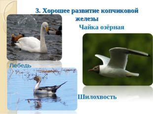 3. Хорошее развитие копчиковой железы Лебедь Чайка озёрная Шилохвость