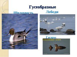 Гусеобразные Шилохвость Лебеди Гагары