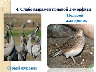 4. Слабо выражен половой диморфизм Серый журавль Полевой жаворонок