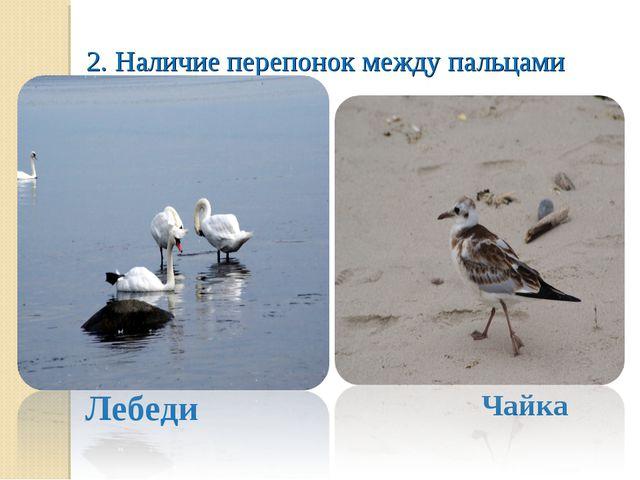 2. Наличие перепонок между пальцами Лебеди Чайка
