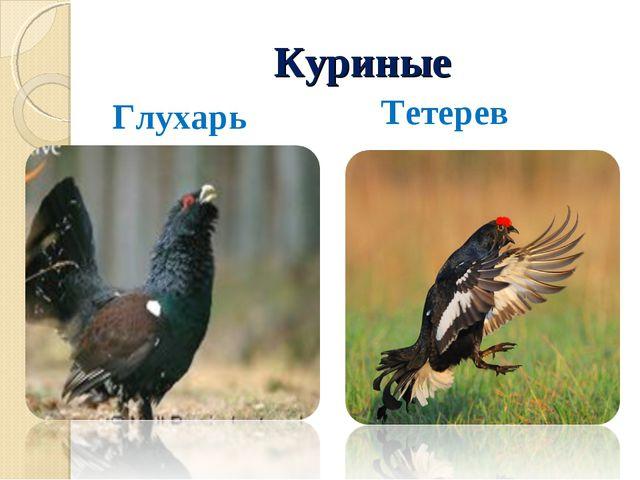 Куриные Глухарь Тетерев